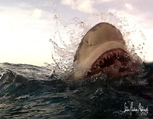 Lemon Shark snaps at Tiger Beach - Bahamas by Steven Anderson 